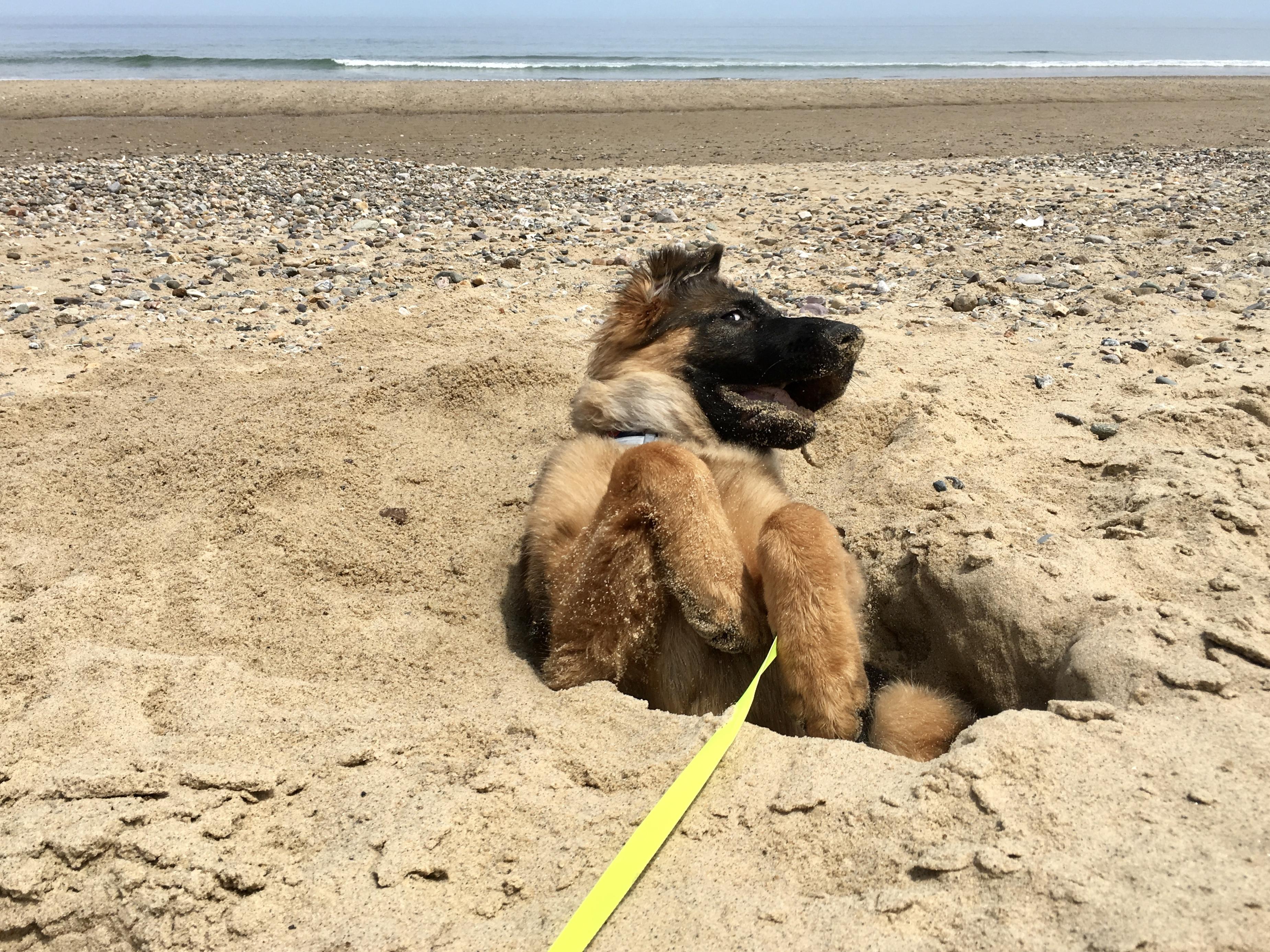 dog at the beach at Cape Cod National Seashore