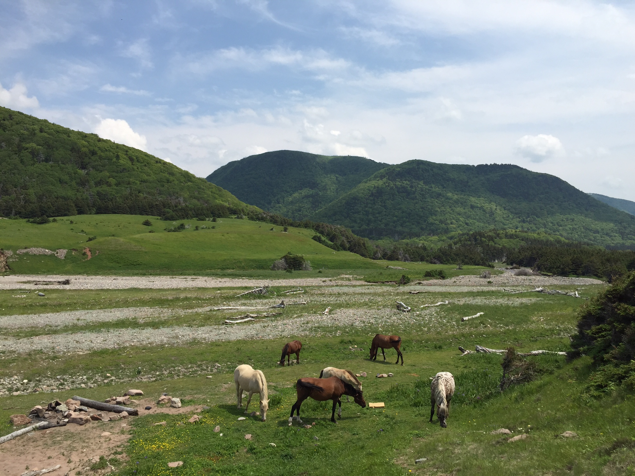 wild horses in Pollett's Cove